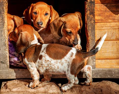 dog-kennel dachshund puppies