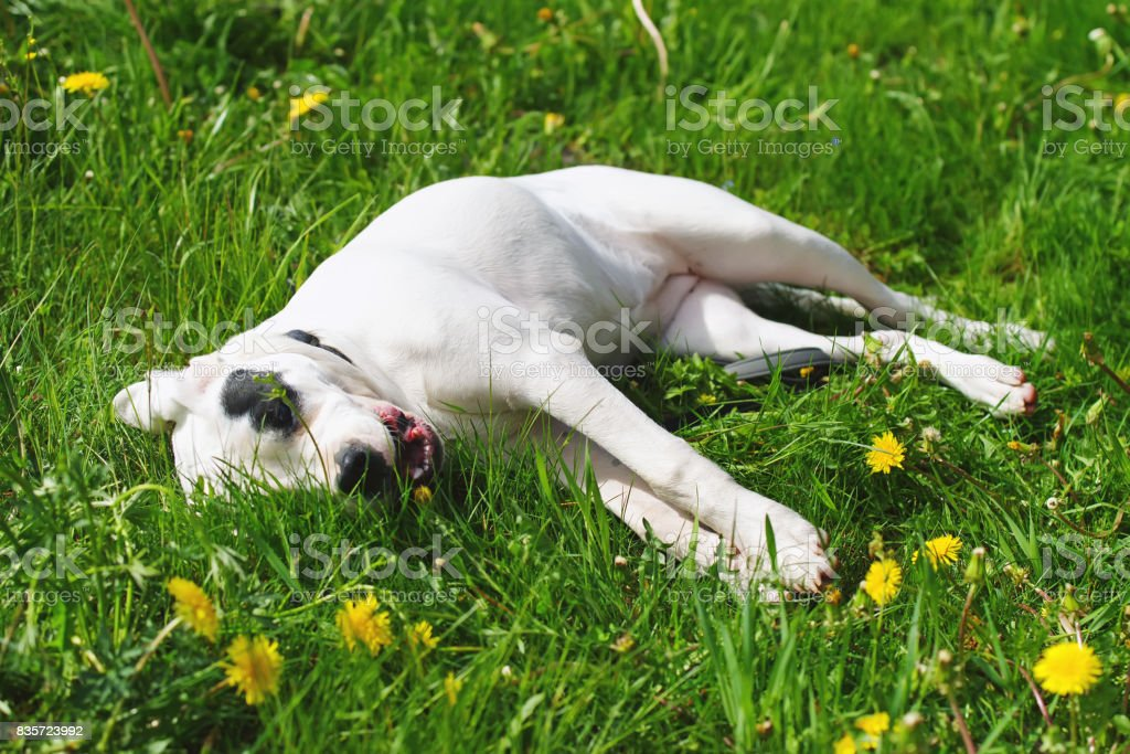 Dogo Argentino dog lying outdoors on a green grass with yellow dandelions stock photo