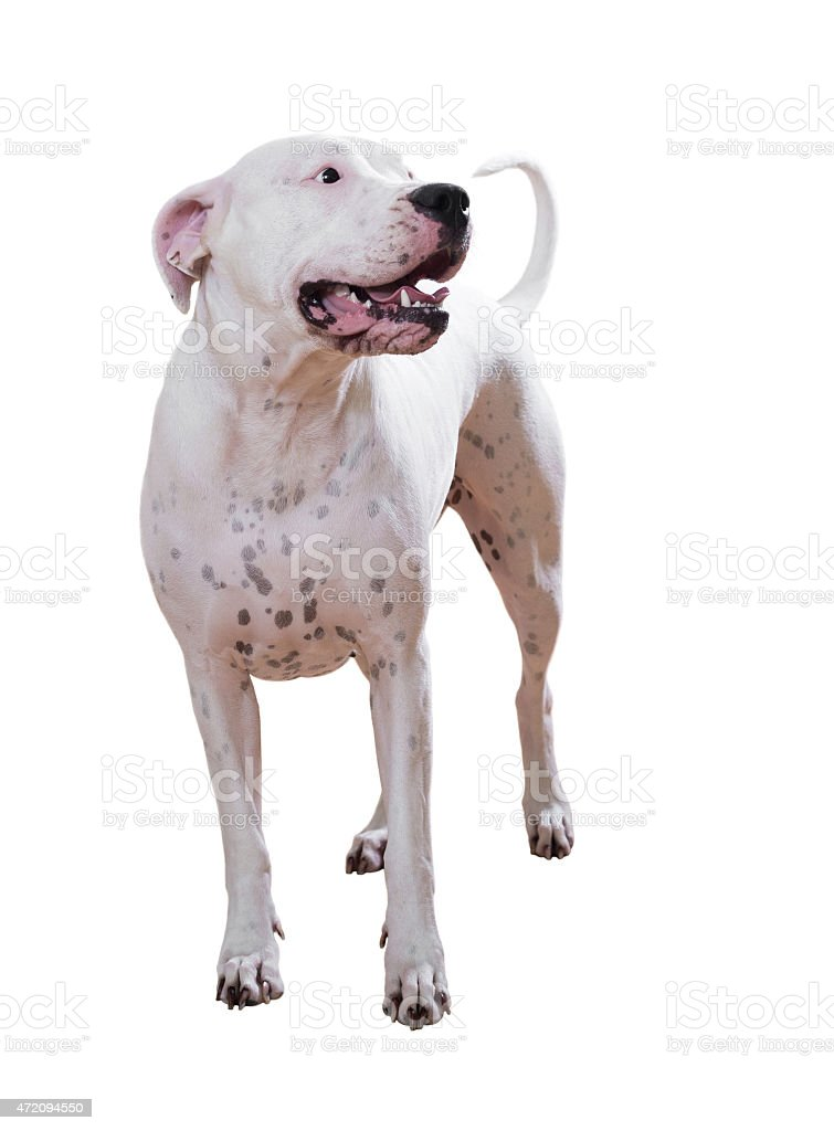Dogo Argentino stock photo