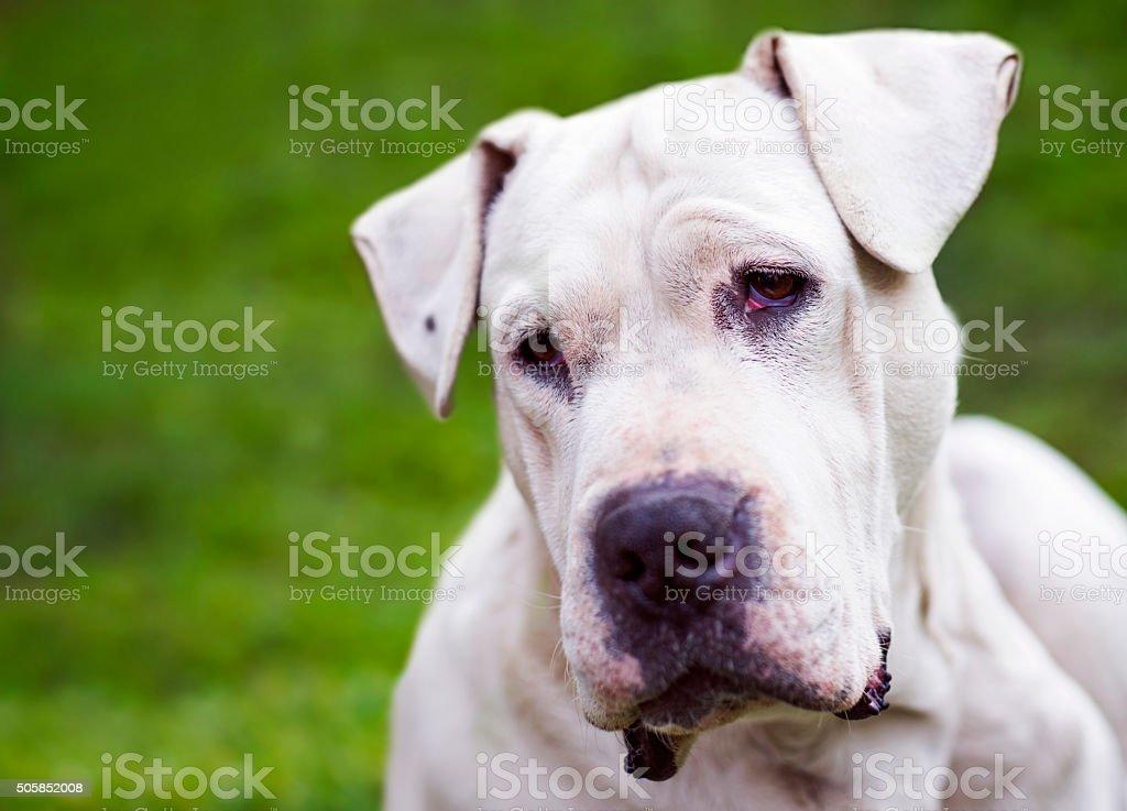 Dogo Argentino Stock Photo - Download Image Now - iStock