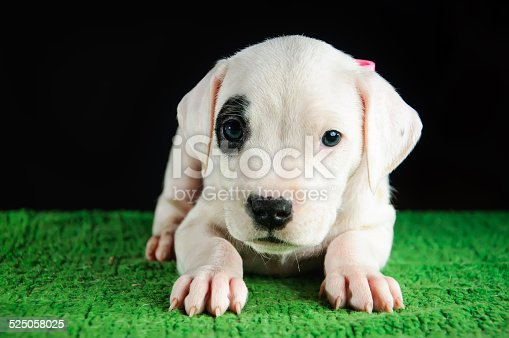Puppy of Dogo Argentino breed