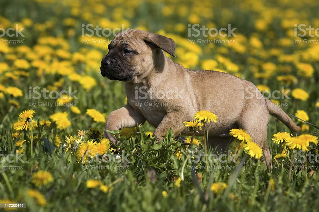 Dogo Canario puppy in yellow dandelions royalty-free stock photo