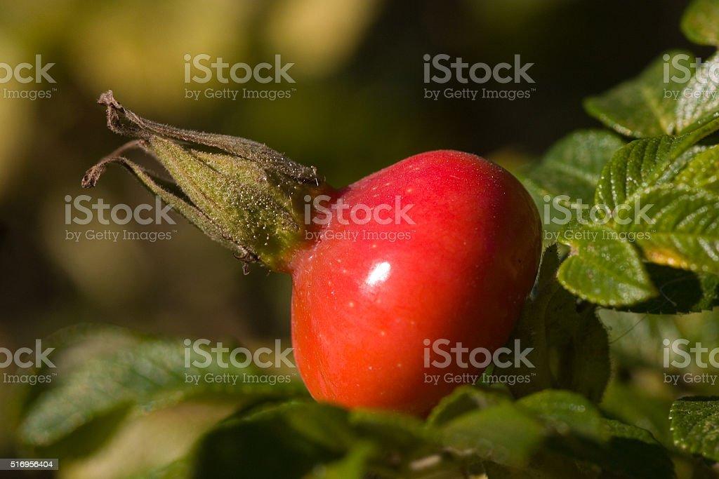 Dogrose stock photo