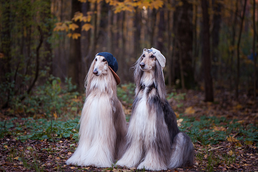 istock Dogs, Afghan hounds as teenagers, rappers. Dressed in stylish caps, the concept of youth fashion, clothes for dogs 1081825122