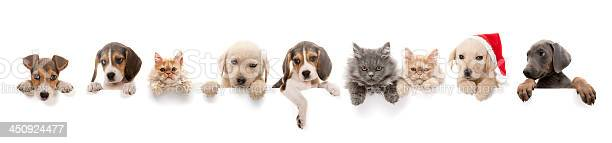 Dogs and cats above white banner picture id450924477?b=1&k=6&m=450924477&s=612x612&h=jllyh9kdkhd7ljvnkhev4 q8evwa9jkhag9kwfd6vxc=