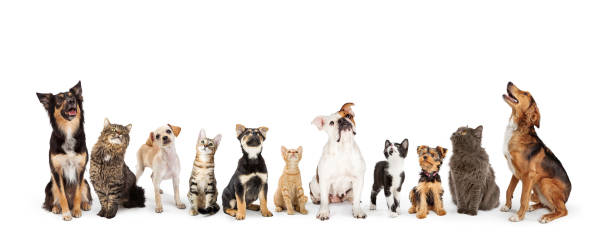 Dogs and Cats Looking Up Into Web Banner Row of cats and dogs sitting looking up into blank white web banner domestic animals stock pictures, royalty-free photos & images