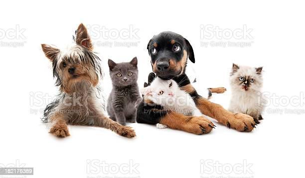 Dogs and cats picture id182176389?b=1&k=6&m=182176389&s=612x612&h=q4skfsv1eichfh2lavklt5gqgtmknarqniq1sn wy2g=