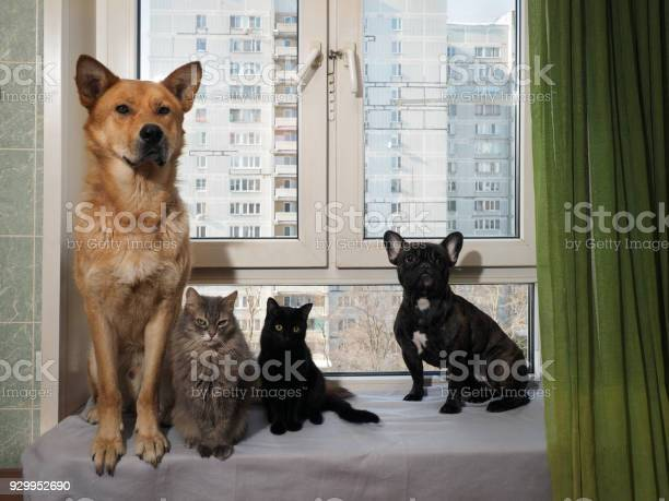 Dogs and cats sit funny on a wide window sill picture id929952690?b=1&k=6&m=929952690&s=612x612&h=oxtio0uy790zgoqx7ugcdjb5ouiylg2rflb5dvypmjw=