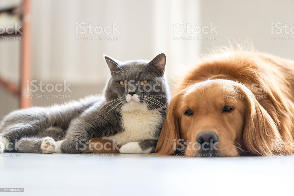 Dogs and cats snuggle together stock photo