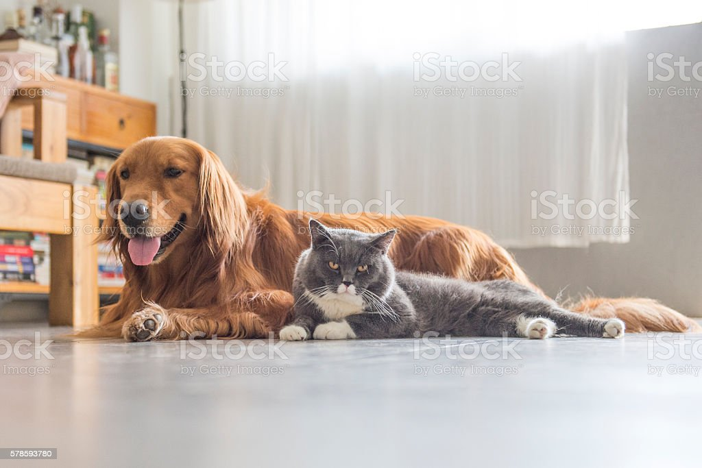 Dogs and cats snuggle together foto royalty-free