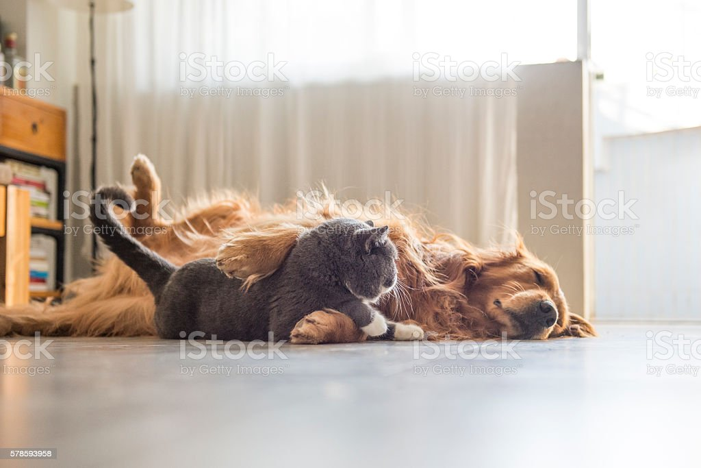 Dogs and cats snuggle together foto de stock royalty-free
