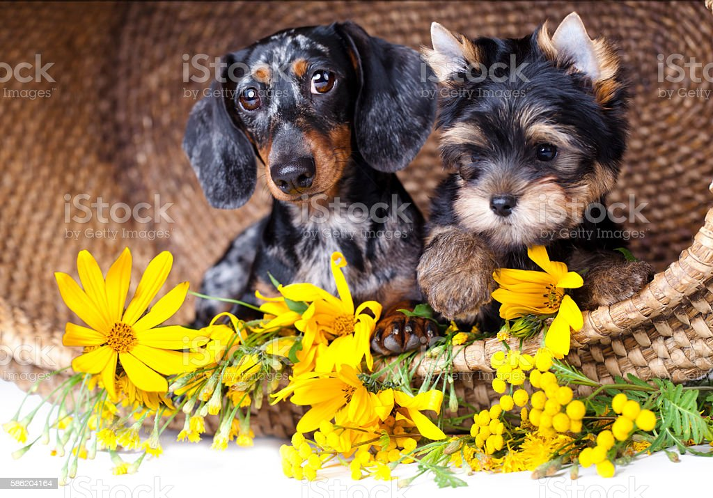 dogs and flowers stock photo