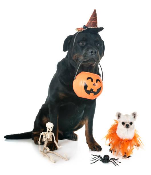 hunde und halloween - hund spinnenkostüm stock-fotos und bilder