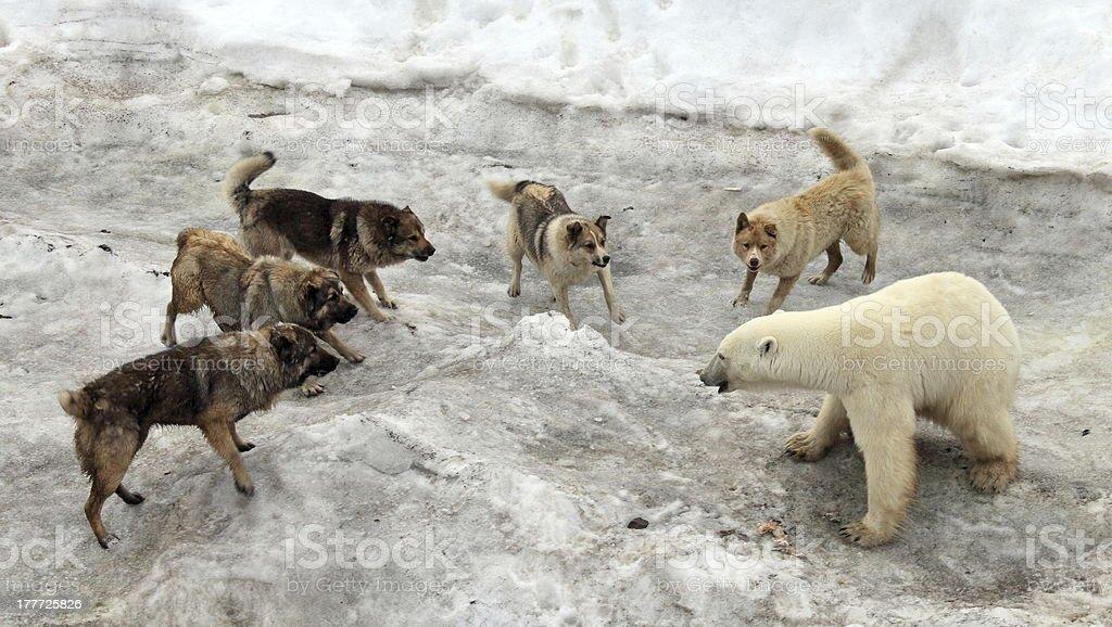 Dogs attacking polar bear stock photo