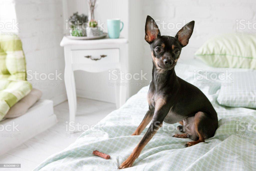 Schönen Guten Morgen Hunde Toy Terrier In Weißen Raum