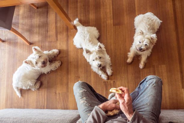 Dogs begging for food: three hungry west highland white westie terriers watching man eat panini sandwich for lunch stock photo
