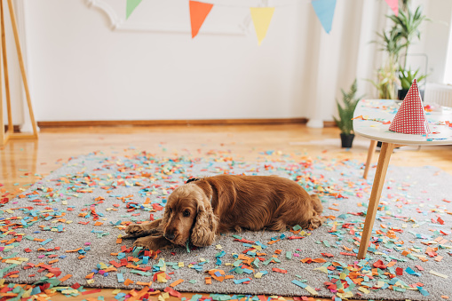 Dog playing with wooden stick on the floor on his birthday