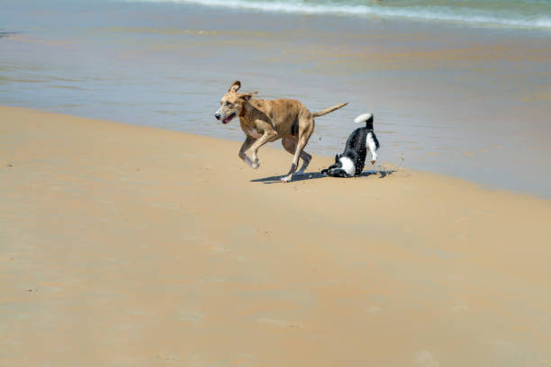 Dogs chasing each other and falling at the beach. One falling face on the sand. zoomies