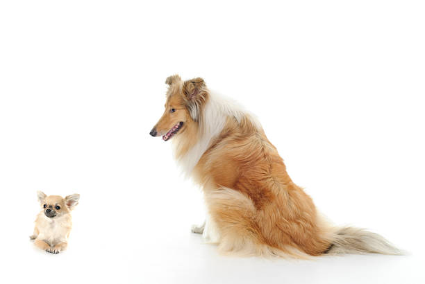Dogs - Chihuhahua and Collie stock photo