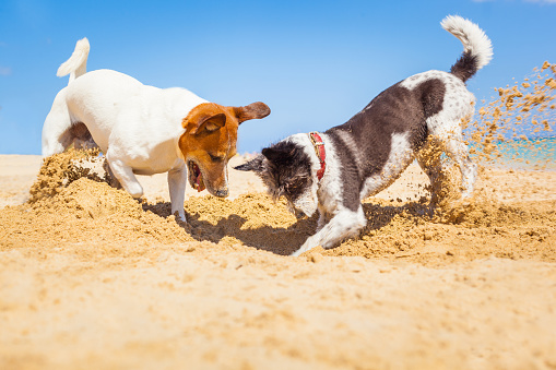 Two terriers digging in the sand.