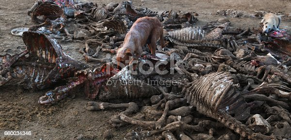 Heap of dead animals Skelton outdoor.