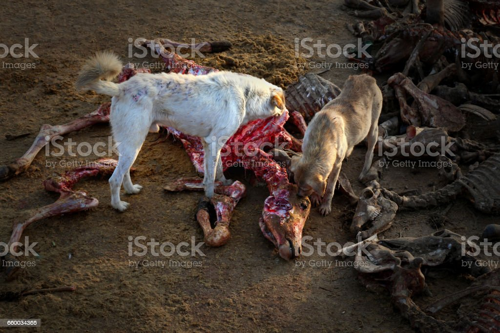 Dogs eating dead cow animal beef stock photo