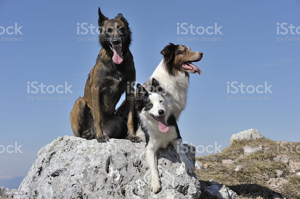 Dogs enjoying view in Mountains stock photo