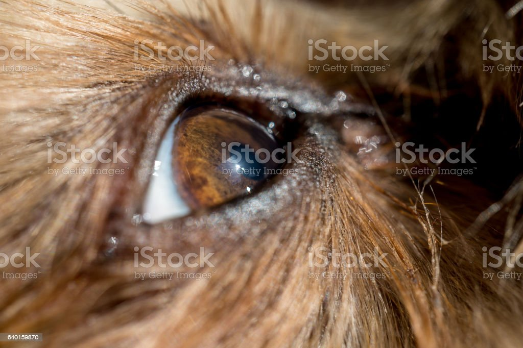 dog's eye macro detail Yorkshire Terrier stock photo