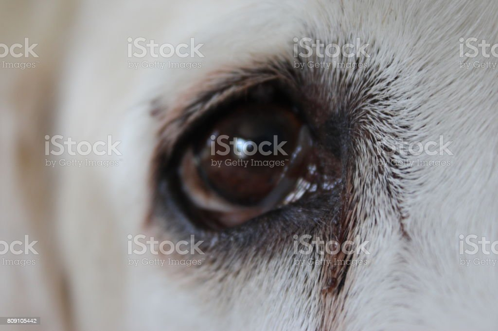 A photo of a dog\'s eye.