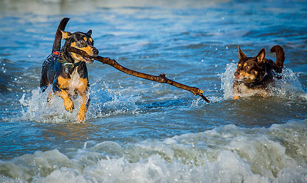 dogs fetching stick in ocean stock photo