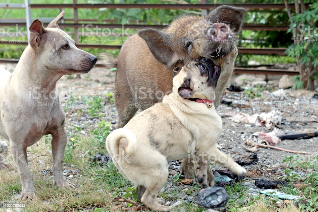Dogs Fight With Wild Boars With Stray Dogs Watching