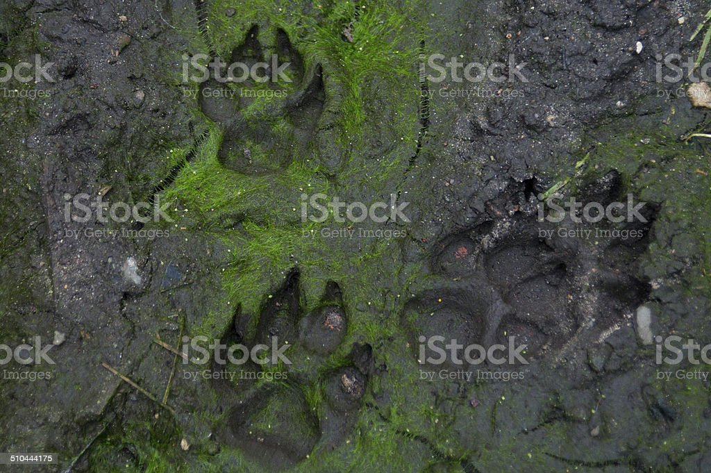 Dog's footprint on the forest trail stock photo