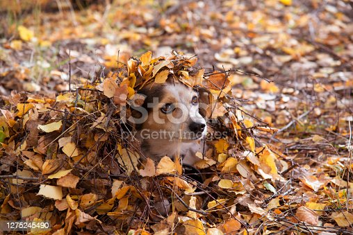 Dog's head in a pile of yellow fallen leaves in the Park in autumn.