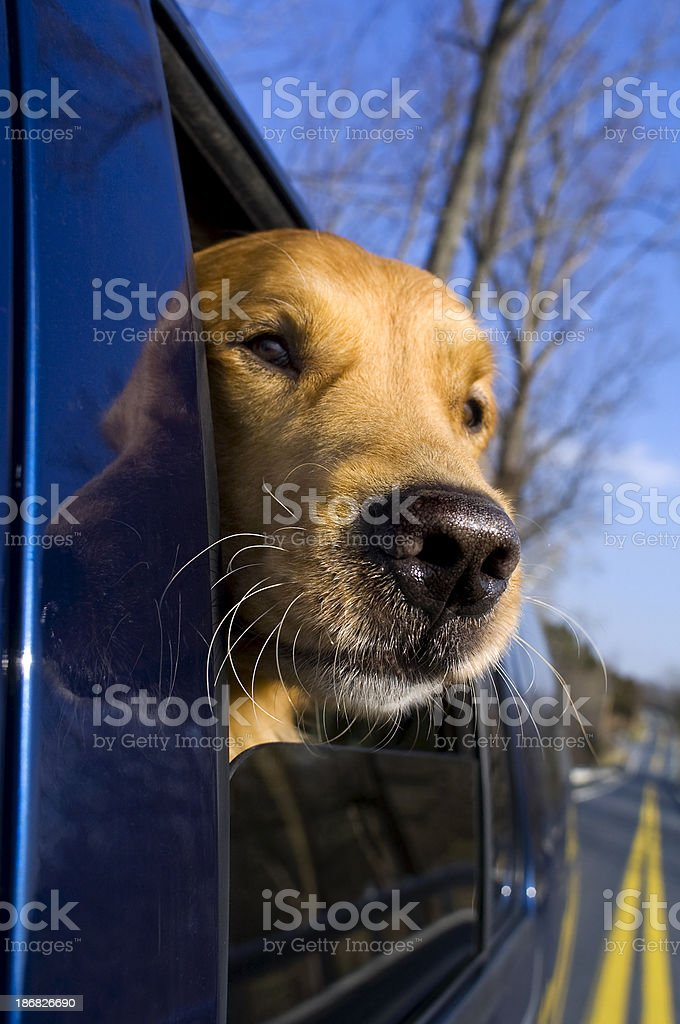 Dog's head out the window royalty-free stock photo