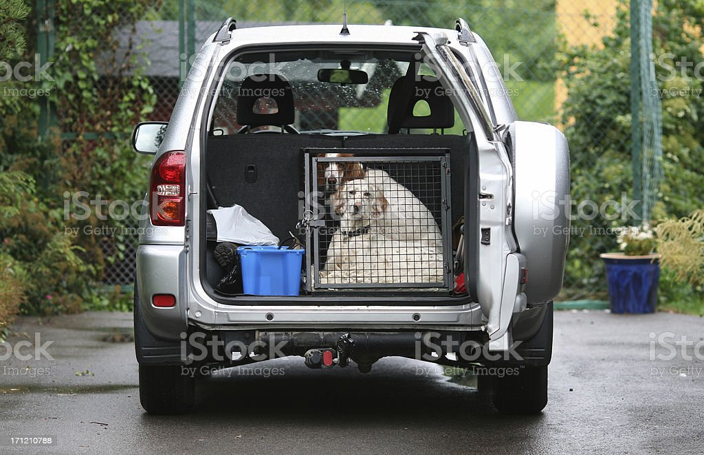 Dogs in a car - Ready To Go ! English Setters royalty-free stock photo
