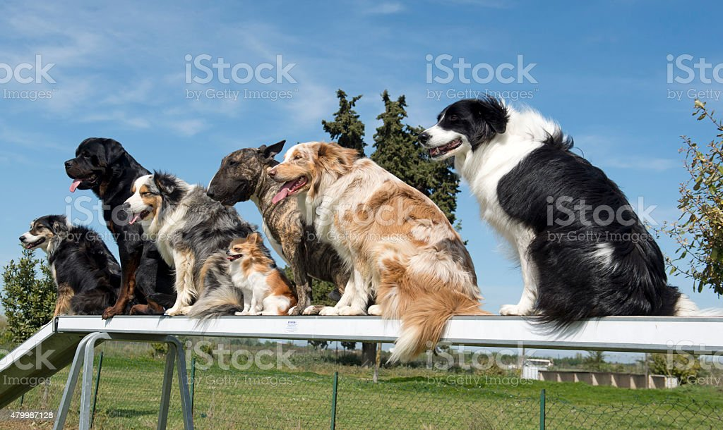 dogs in agility stock photo