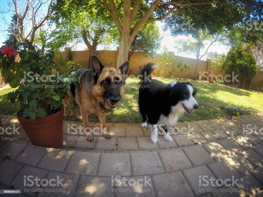 Dogs In Garden stock photo