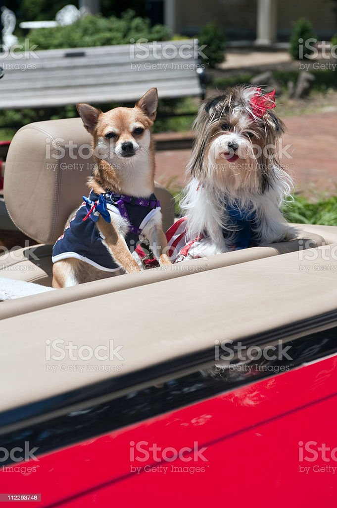 dogs in sportscar stock photo