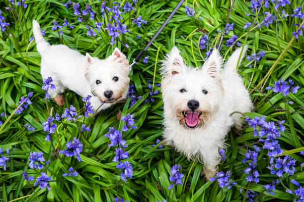 Dogs in spring flowers: west highland terrier westies in bluebells at Rolands Wood dog park, Kerikeri, New Zealand, NZ stock photo