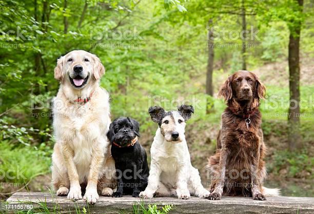 Dogs in the forest picture id171155760?b=1&k=6&m=171155760&s=612x612&h=t ylzjh6fj9a4hinadwkxsqw85yhikdrjubqxvh72vo=