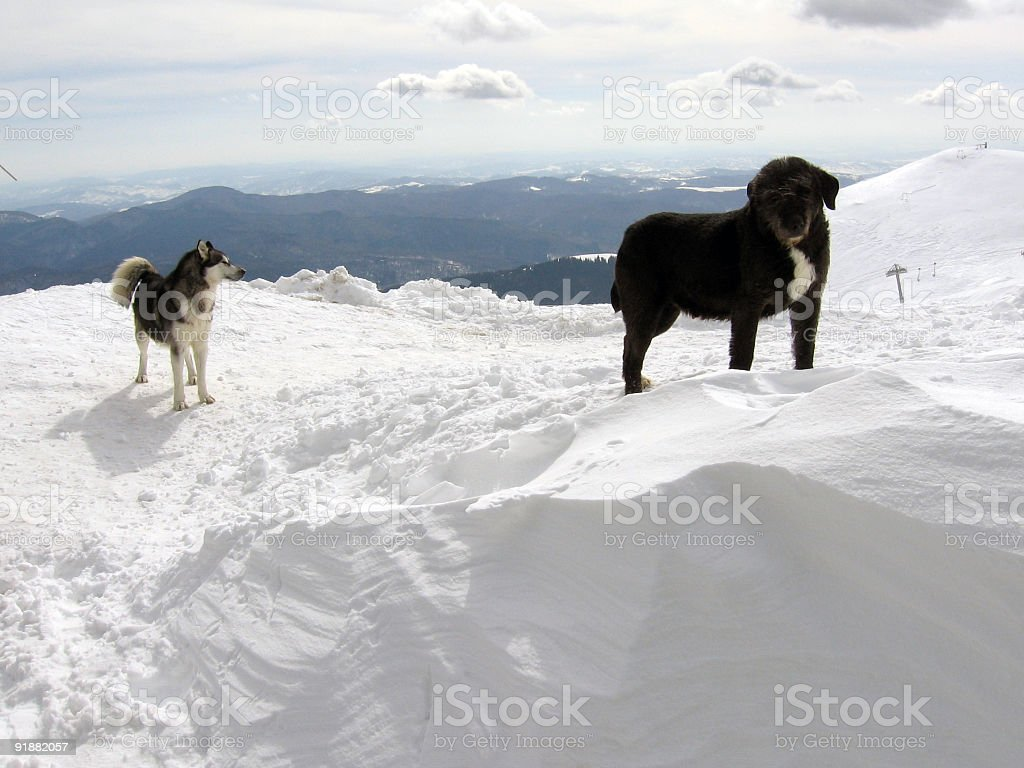 Dogs in winter stock photo