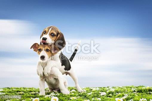 dogs jack russel and beagle on grass