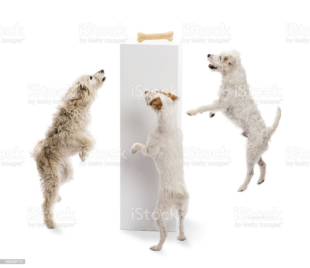 Dogs jumping and looking at a bone royalty-free stock photo
