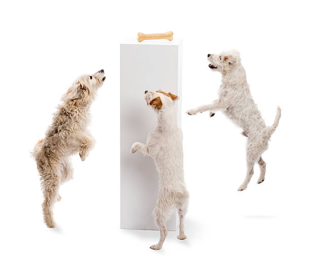 Dogs jumping and looking at a bone picture id160339773?b=1&k=6&m=160339773&s=612x612&w=0&h=vkxknwwtegwdnyhycecbvop4mx6jj9h wey75iok1 o=