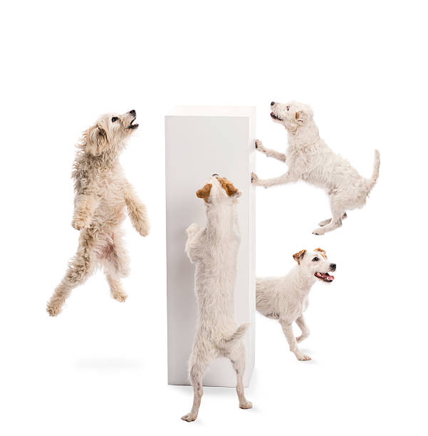 Dogs jumping and looking at pedestal against white background picture id161765123?b=1&k=6&m=161765123&s=612x612&w=0&h=hyhlvb5qipdbtdxqw8vi6x93acvsyqjptrkbhwgyavg=