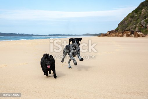 A morning at the beach with the dogs. A schipperke and a german wire haired pointer puppy.