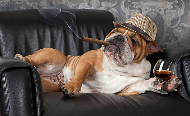 Dog's life Humorous photograph of English Bulldog resting in a black leather chair with a cigar and glass of cognac. bulldog stock pictures, royalty-free photos & images