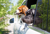 istock Dogs look out the open car window 537722948