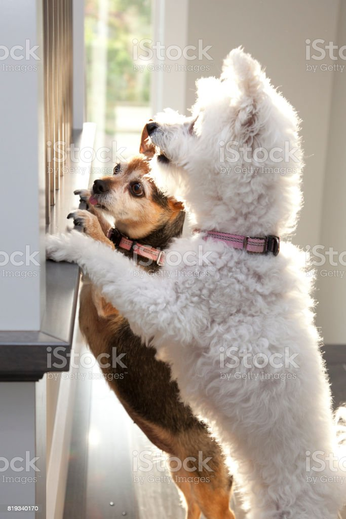 dogs looking out window stock photo