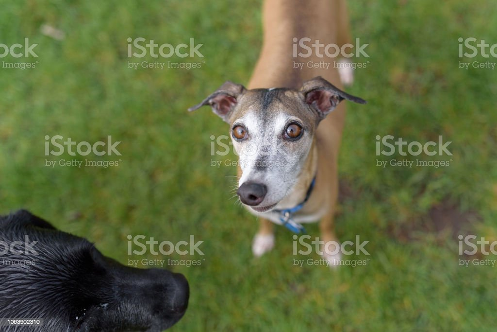 2 dogs meeting at a park. One looking up at the camera stock photo